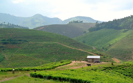 Enlargement: Tea plantation and landscape in Africa