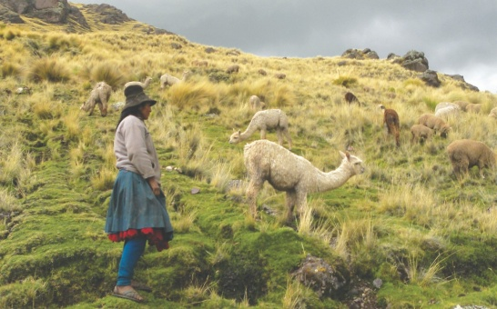 Enlargement: Woman with lama in the Andes